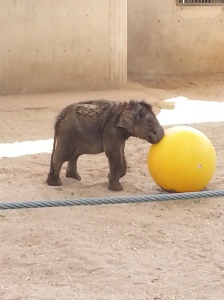 this little elephant was still not the best at walking it was very cute to watch.